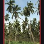La palmera argüendera