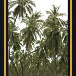 Las palmeras bailadoras